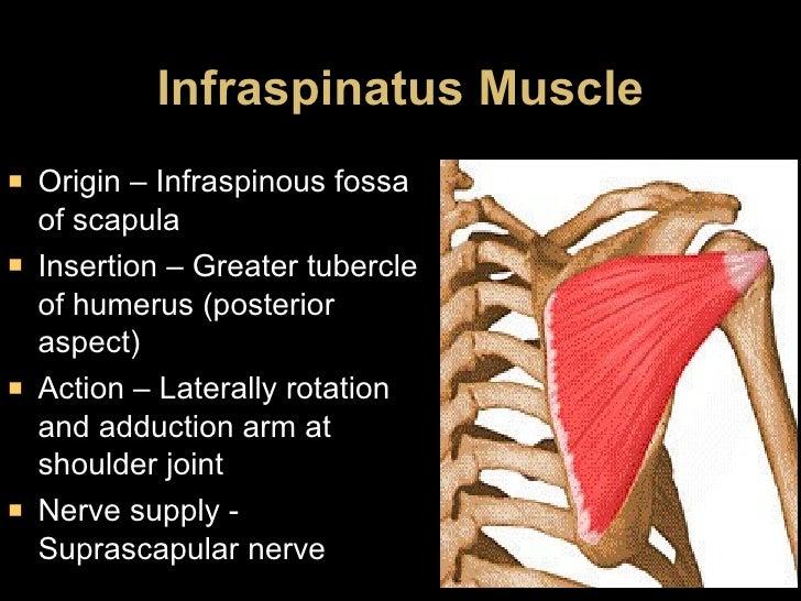 Infraspinatus Muscle <ul><li>Origin – Infraspinous fossa of scapula </li></ul><ul><li>Insertion – Greater tubercle of hume...