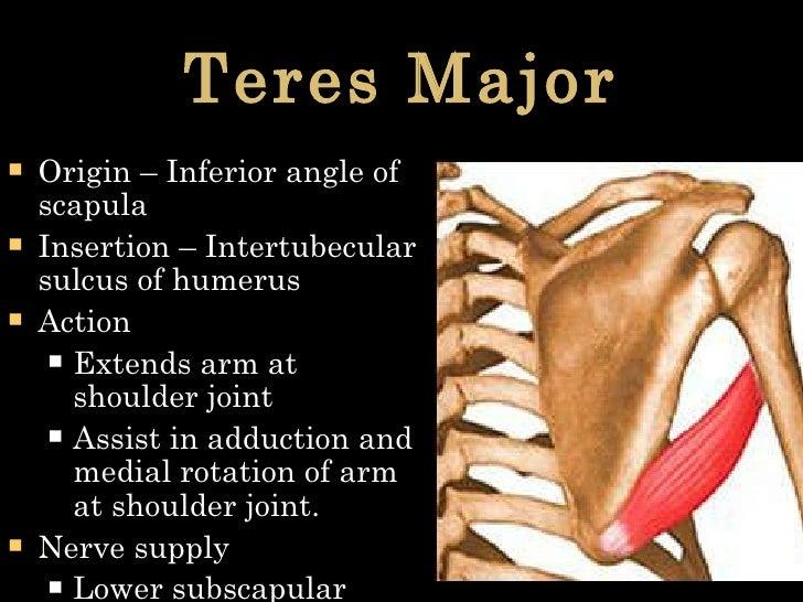Teres Major <ul><li>Origin – Inferior angle of scapula </li></ul><ul><li>Insertion – Intertubecular sulcus of humerus </li...