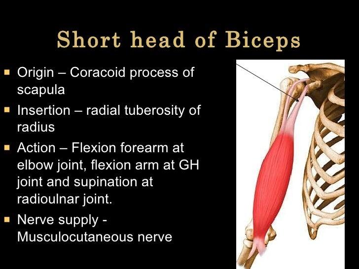 Short head of Biceps <ul><li>Origin – Coracoid process of scapula </li></ul><ul><li>Insertion – radial tuberosity of radiu...