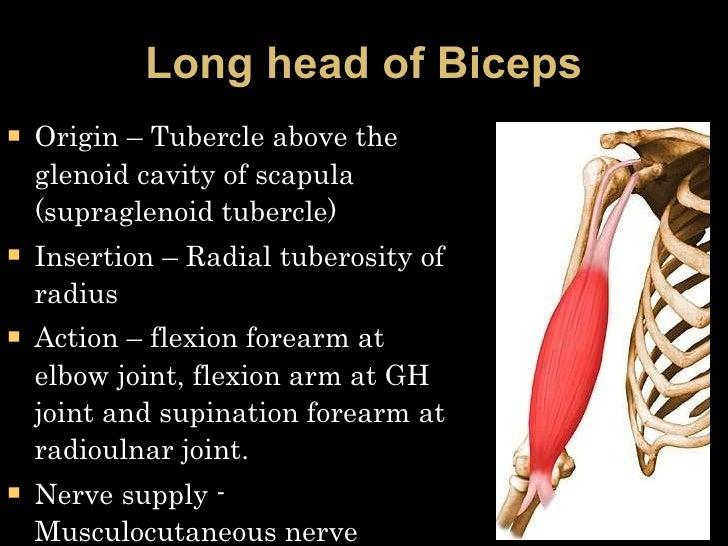 Long head of Biceps <ul><li>Origin – Tubercle above the glenoid cavity of scapula (supraglenoid tubercle) </li></ul><ul><l...