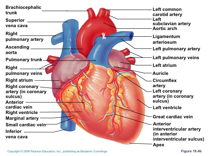 Veins And Arteries Of The Heart New Best Photo Gallery Websites With ...