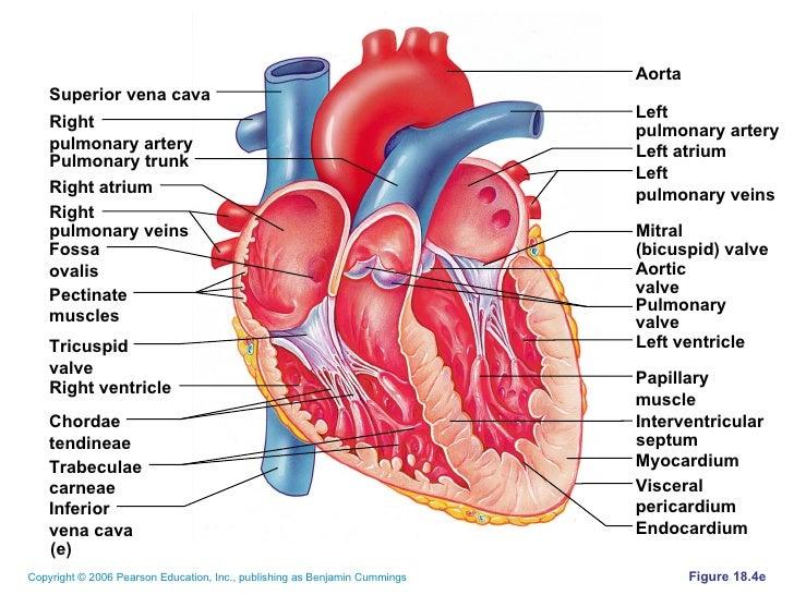 4.2 heart.copeland.2010, Human Body
