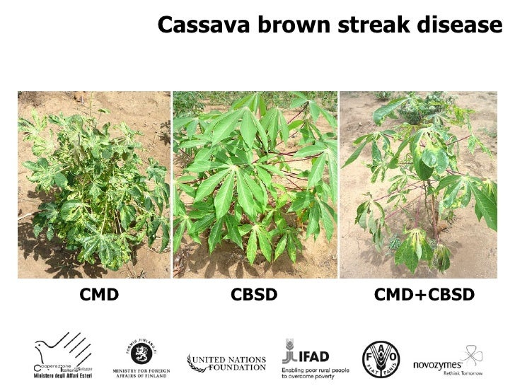 cassava brown streak virus infection genome The disease is caused by cassava brown streak virus (cbsv),  comparison of  the viral genomes in four genera of potyviridae  was mechanically transmitted  to nicotiana rustica, particles were purified from systemically infected leaves, and .
