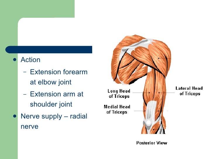 Radius Ulna Elbow And Radioulnar Joint