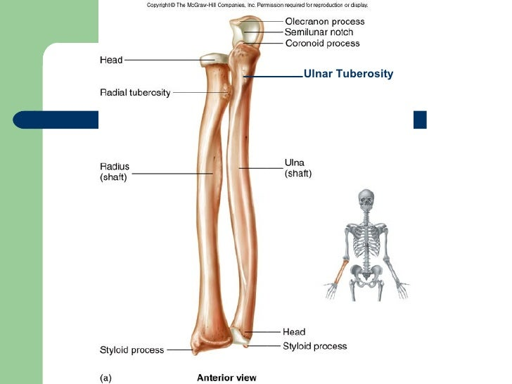 Radius, Ulna, Elbow and Radioulnar Joint