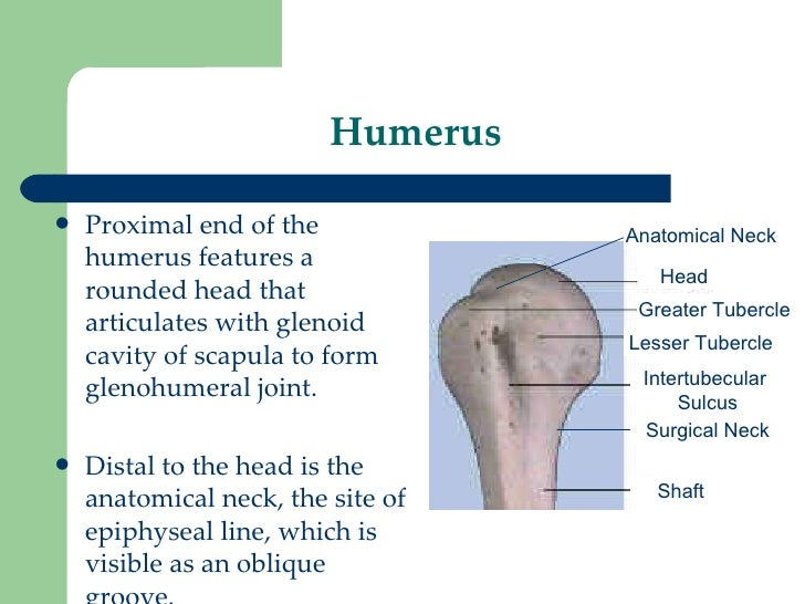 Humerus And Shoulder Joint