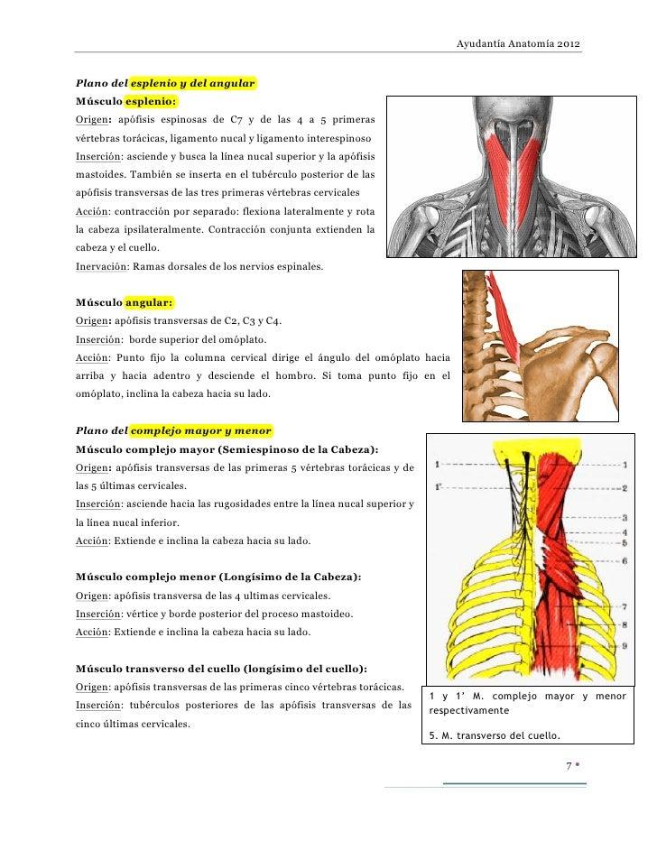 XI par craneal, ramos posteriores de nervios cervicales, plexo cervi…