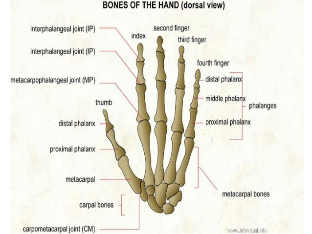 bone and muscles of the hand, Sphenoid