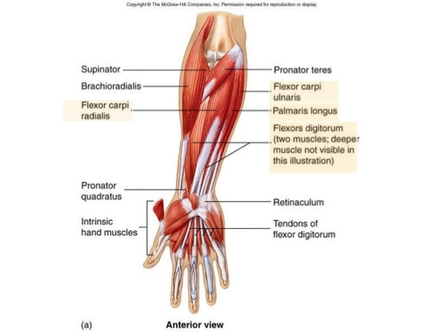 bone and muscles of the hand, Cephalic Vein