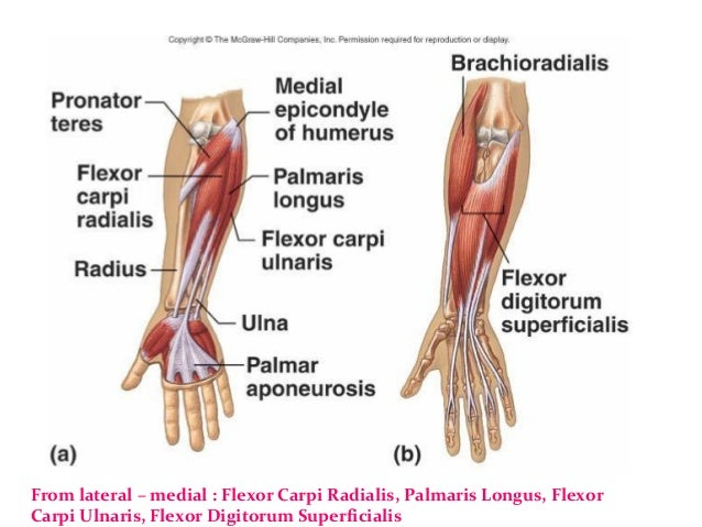 Bone and Muscles of the Hand