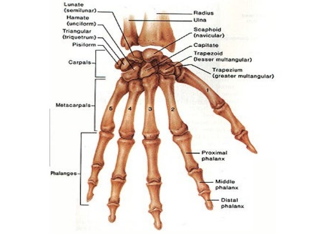 bone and muscles of the hand, Human Body