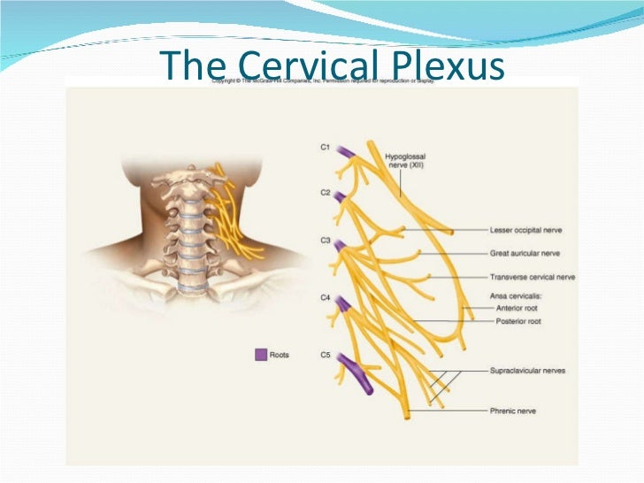 Cervical plexus anatomy