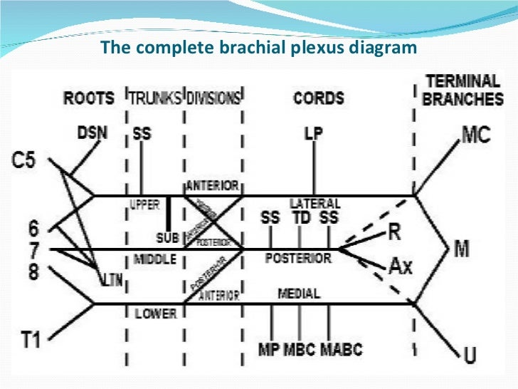 Brachial Plexus Diagram Pdf - Block And Schematic Diagrams •