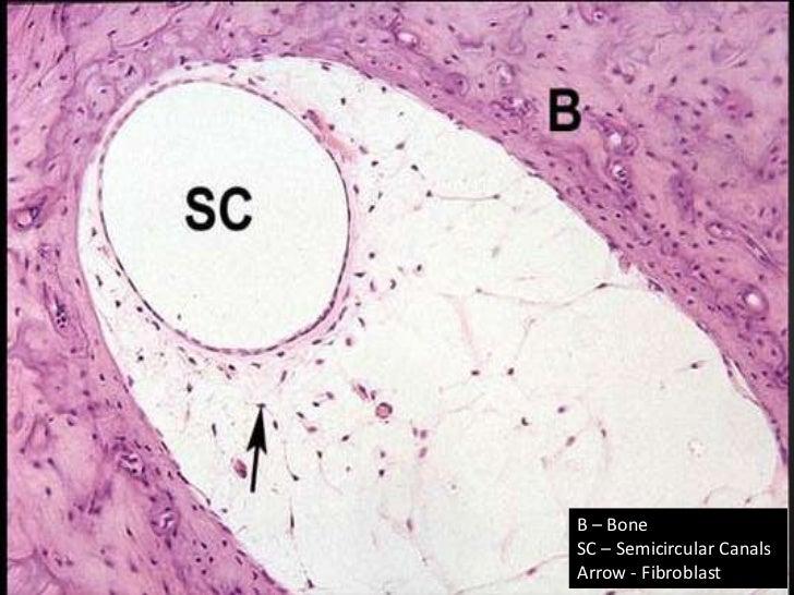 Ear histology | 728 x 546 jpeg 119kB