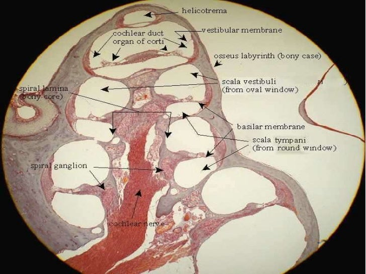 cochlear histology labeled Ear histology