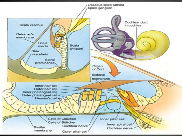 Anatomy of the outer ear