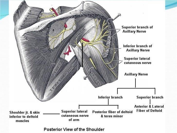 Peripheral Nerves Of Upper Limb