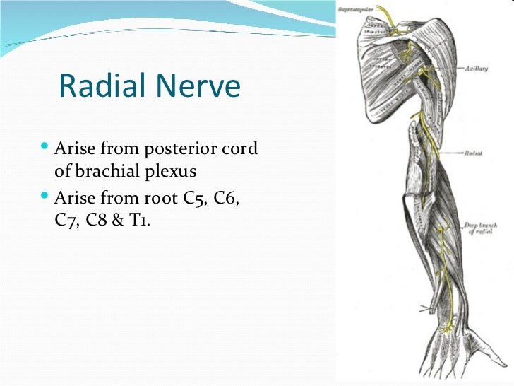 Peripheral Nerves Of Upper Limb