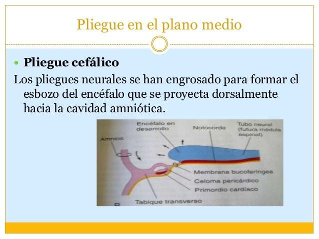  El prosencéfalo crece cranealmente más allá de la membrana bucofaríngea y sobresale por encima del corazón, mientras que...