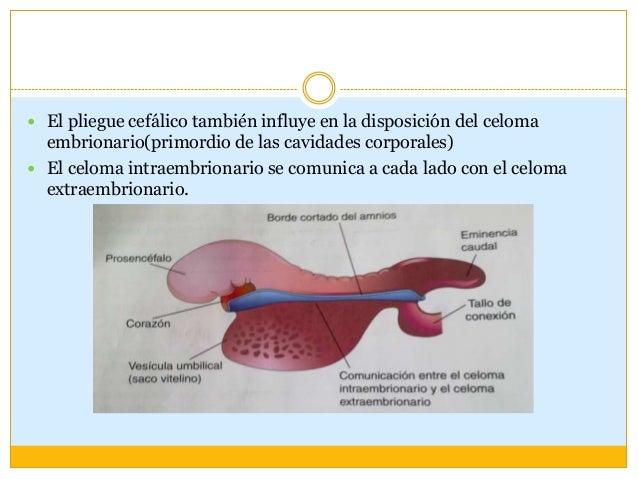 Pliegue caudal Se debe al crecimiento de  la porción distal del tubo  neural (el primordio de la  médula espinal) Parte ...