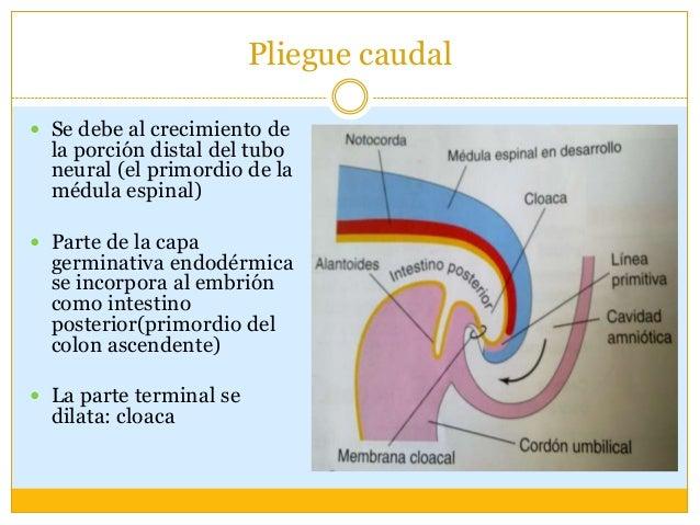 Pliegue en el plano horizontal Se crea un embrión de forma cilindrica. Parte de la capa germinal endodérmica se conviert...