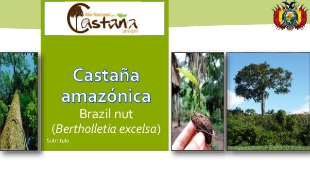 Brazil nut (Bertholletia excelsa) Subtítulo