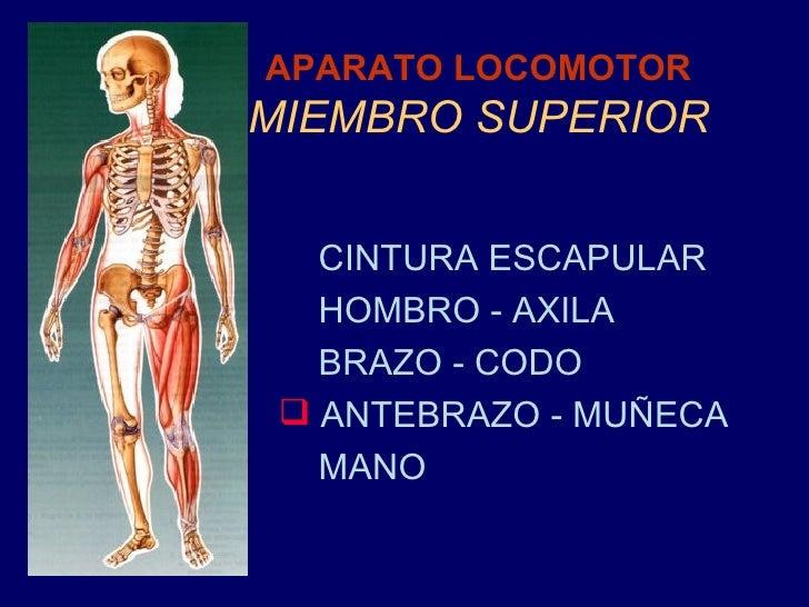 4 Antebrazo Y MuñEca