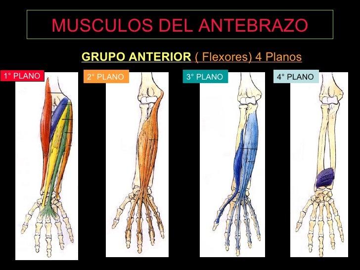 Fantástico Músculos Del Antebrazo Del Brazo Y De La Anatomía ...