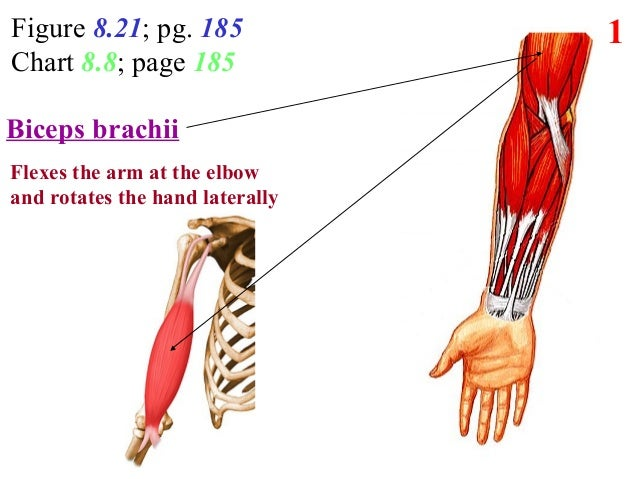 Figure 8.21; pg. 185 Chart 8.8; page 185 1 ? Function? Biceps brachii Flexes the arm at the elbow and rotates the hand lat...