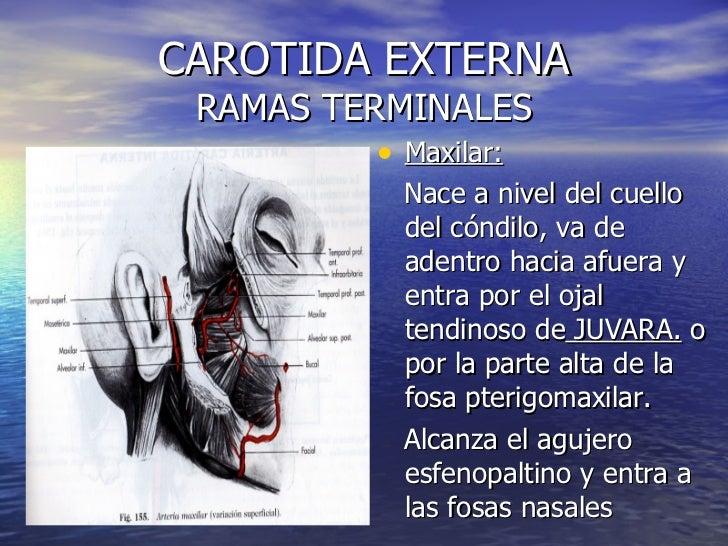 4. Arteria Carotida Externa
