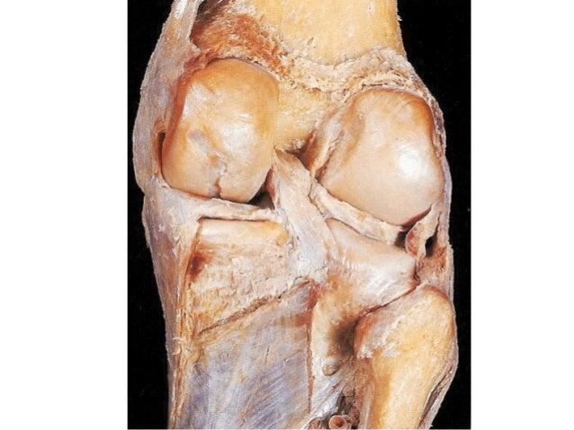 Articulación de la rodilla anatómica
