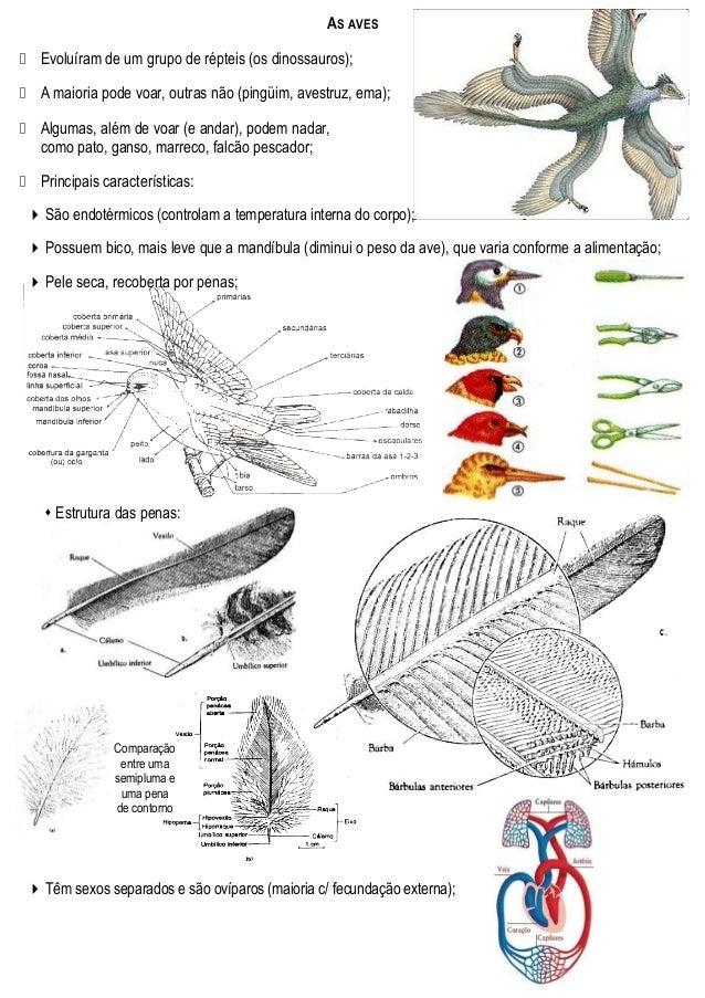 AS AVES  Evoluíram de um grupo de répteis (os dinossauros);  A maioria pode voar, outras não (pingüim, avestruz, ema); ...