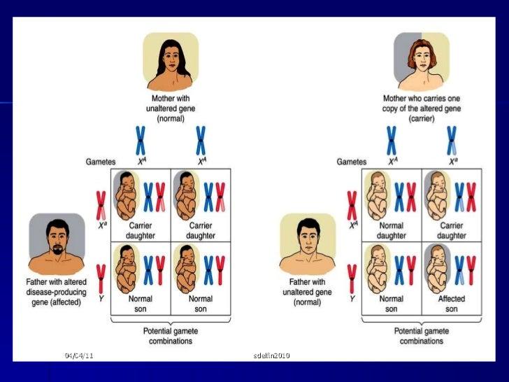 Hemophilia <ul><li>X linked recessive trait </li></ul><ul><li>Males inherit hemophilia from their mothers and females inhe...