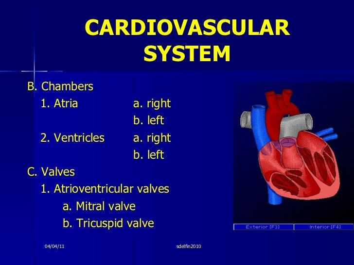 CARDIOVASCULAR   SYSTEM <ul><li>B. Chambers </li></ul><ul><li>1. Atria   a. right </li></ul><ul><li>b. left </li></ul><ul>...