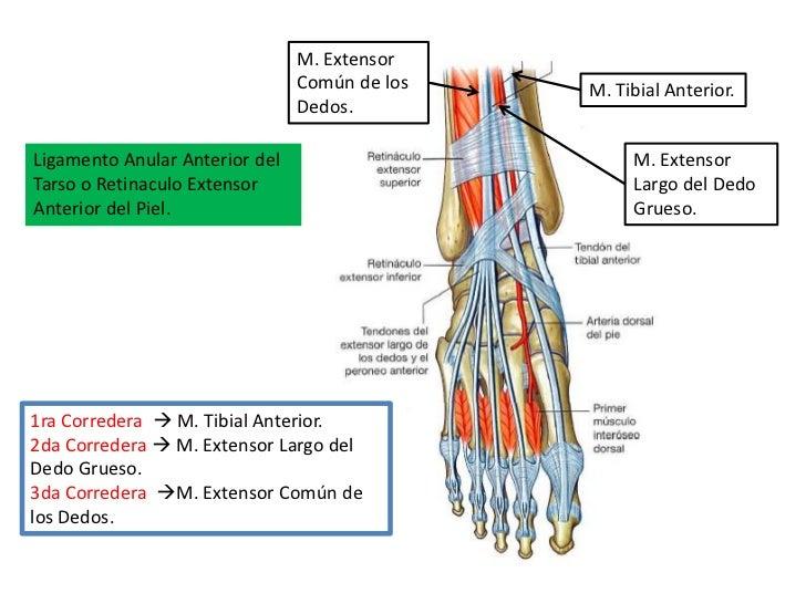 Perfecto Ligamentos Del Dedo Del Pie De La Anatomía Embellecimiento ...