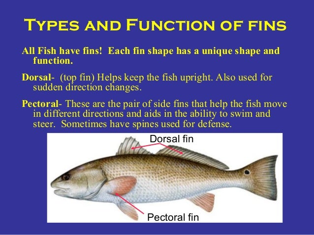 Anal fin function