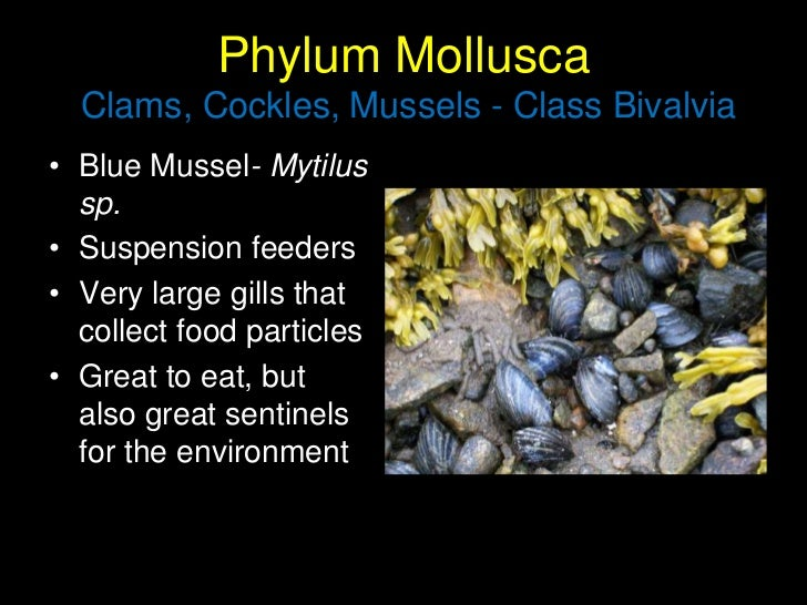 the feasibility of mussel shells bivalvia Description pear-shaped, these bivalves typically attach to the surfaces of surf-beaten rocks a strong byssus near the hinge fastens the mussel to rock, where the surf brings ample oxygen and food.
