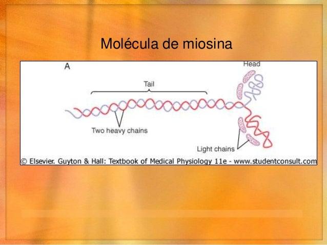 Filamento de miosina• Formado por 200 o más moléculas de miosina   • Cuerpo      • Conjunto de colas      • Cabezas a los ...