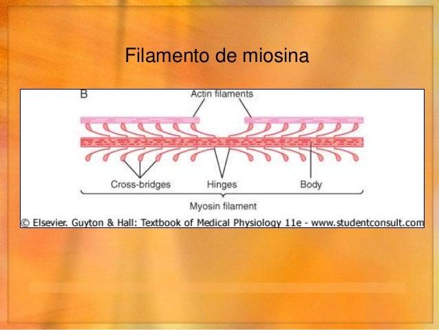 Filamento de actina• Actina• Tropomiosina• Troponina• Las bases de los filamentos se anclan a los discos Z• Los extremos p...