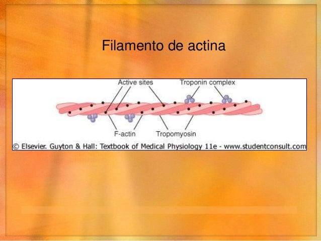 Actina- Miosina - Calcio • Calcio – inhibe el efecto inhibidor del complejo troponina-   tropomiosina sobre los filamentos...