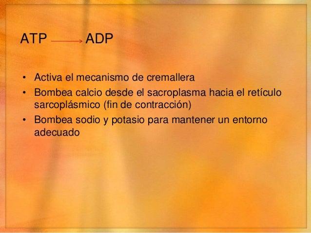 Energía• La energia liberada cuando se escinde el ATP a ADP  sólo mantendrá la contracción por 1 o 2 segundos.• Para mante...