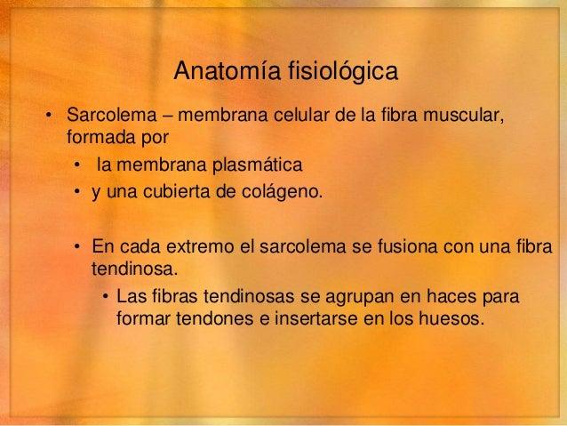 Anatomía fisiológica• Sarcolema – membrana celular de la fibra muscular,  formada por   • la membrana plasmática   • y una...