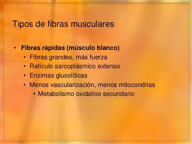 Tipos de fibras musculares• Fibras lentas (músculo rojo)   • Fibras más pequeñas   • Nervios más pequeños   • Vascularizac...