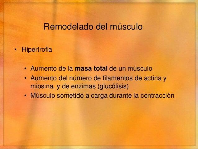 Remodelado del músculo• Ajuste de la longitud   • Al distender un músculo se agregan sarcómeros en     los extremos.   • S...