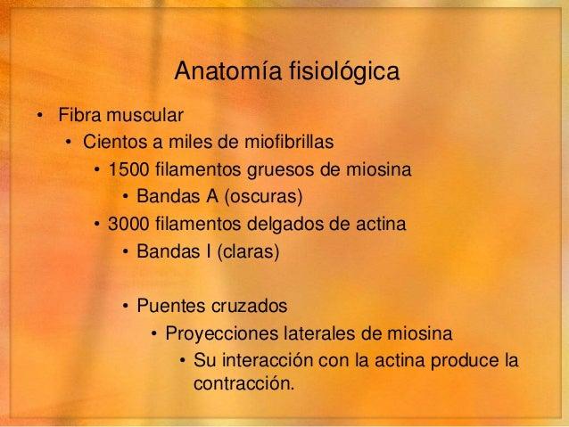Anatomía fisiológica• Fibra muscular   • Cientos a miles de miofibrillas      • 1500 filamentos gruesos de miosina        ...