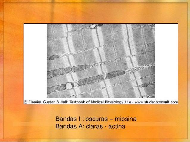Bandas I : oscuras – miosinaBandas A: claras - actina