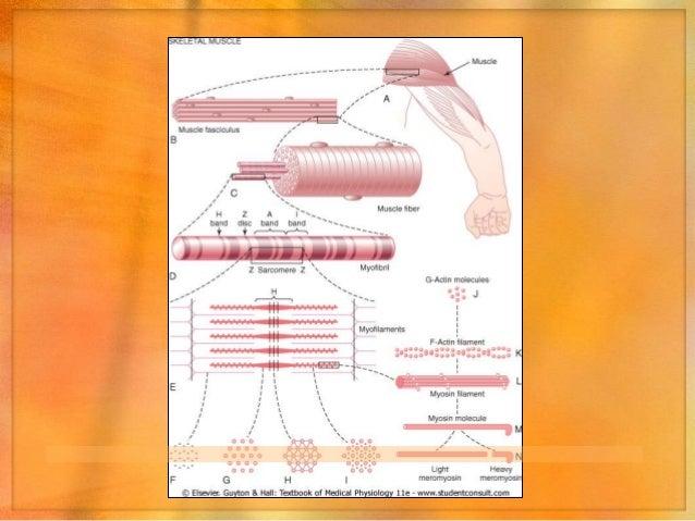 Mecanismo general de la contracción1. Potencial de acción que viaja a lo largo de una fibra   motora hasta la fibra muscul...