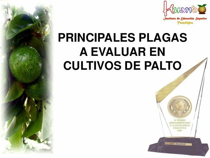 PRINCIPALES PLAGAS   A EVALUAR EN CULTIVOS DE PALTO