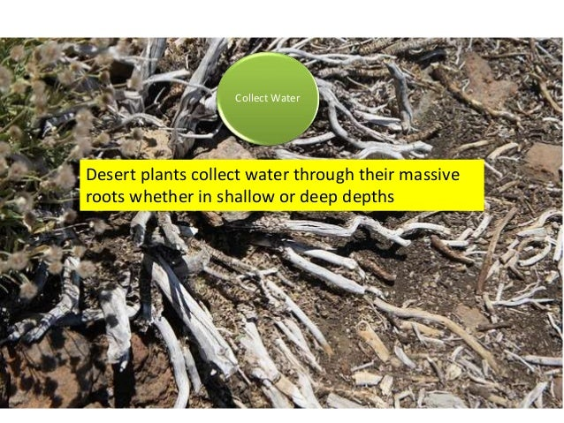 Collect Water Desert plants collect water through their massive roots whether in shallow or deep depths