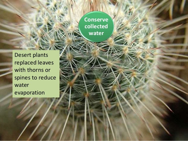 Desert plants replaced leaves with thorns or spines to reduce water evaporation Conserve collected water